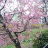 野川しだれ桜の花見にはレースのストール巻いて