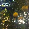 カンタンゆず茶の作り方と柑橘類の皮について気になること
